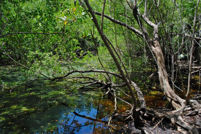 Free Tropical Mangrove Ambience Sound
